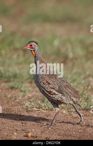 Grey-breasted spurfowl (Francolinus rufopictus), Serengeti National Park, Tanzania, East Africa, Africa - Stock Photo