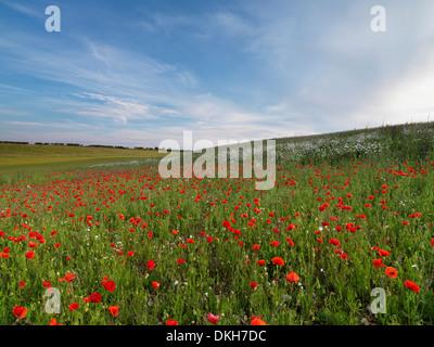 A poppy field near Burnham Market, Norfolk, England, United Kingdom, Europe - Stock Photo
