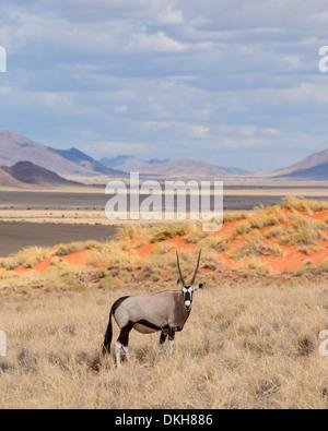 Gemsbok (Oryx gazella) on the dunes of the NamibRand Nature Reserve, Namib Desert, Namibia, Africa - Stock Photo