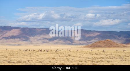 A large herd of Gemsbok (Oryx gazella) on the plains of the NamibRand Nature Reserve, Namib Desert, Namibia, Africa - Stock Photo