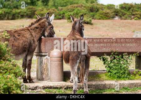 Two Donkeys drinking from a water trough on open land in The New Forest, Hampshire. - Stock Photo