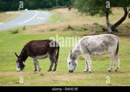 Two Donkeys grazing near the roadside in The New Forest, Hampshire. - Stock Photo