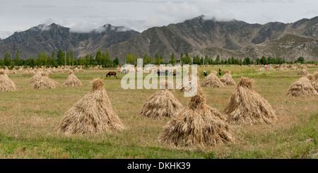 Harvested barley stacks in field, Quxu, Lhasa, Tibet, China - Stock Photo