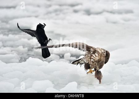 Crows (Corvus corone) tryng to steel food from White-tailed Sea Eagle (Haliaeetus albicilla), Rausu, Hokkaido, Japan. - Stock Photo