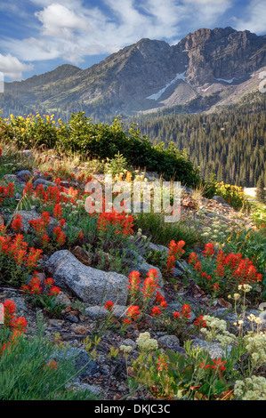 Beginning of wildflower season in Albion Basin above Alta Utah in Little Cottonwood Canyon of the Wasatch Mountain. - Stock Photo