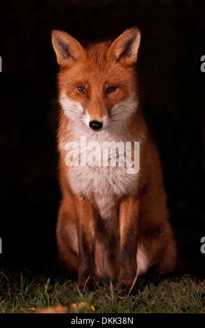 Urban fox night shot - Stock Photo
