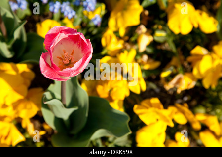 Pink and white tulip against yellow flowerbed - Stock Photo