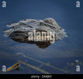 Alligator Head In The Water ,Close Up - Stock Photo