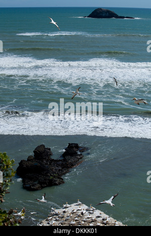 Gannets flying over their colony at Muriwai Beach in New Zealand - Stock Photo