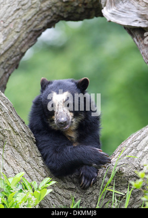 Spectacled bear resting on a tree - Stock Photo
