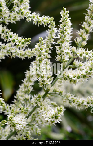 veratrum album false helleborine european white hellebore cream white plant portraits flowers closeup selective - Stock Photo