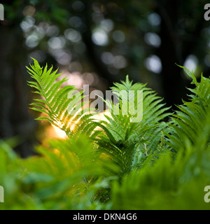 A close up shot of a fern in the spring with sunlight bursting through it's leaves, Oakville, Ontario, Canada. - Stock Photo