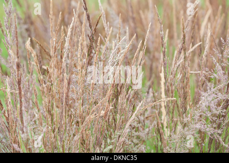 Holcus lanatus, or Yorkshire fog, or creeping velvetgrass, UK - Stock Photo