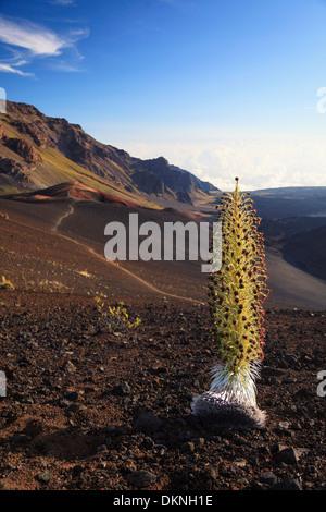 USA, Hawaii, Maui, Haleakala National Park, Silversword Plant (Argyroxiphium sandwicense) in bloom - Stock Photo