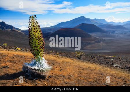 USA, Hawaii, Maui, Haleakala National Park, Silversword Plant (Argyroxiphium sandwicense) - Stock Photo