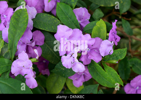 Yesterday, Today and Tomorrow Plant, Brunfelsia pauciflora 'Macrantha', Solanaceae. - Stock Photo