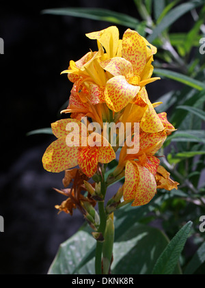 Canna Lily 'Yellow King Humbert', Cannaceae. Yellow, red spotted flower. - Stock Photo