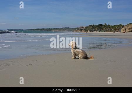 A small dog on the beach at the Riviera Nayarit, Mexico. - Stock Photo