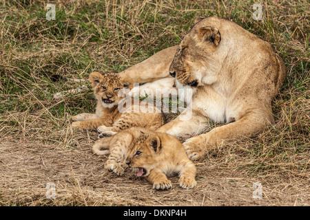 Lioness With Cubs, Maasai Mara, Kenya - Stock Photo