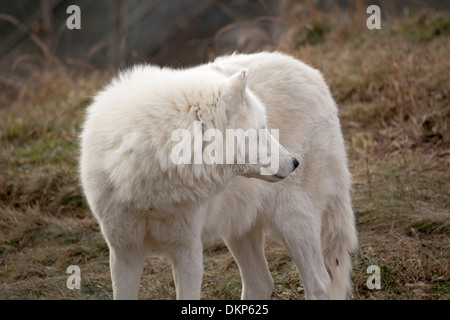 Canis lupus arctos. Arctic Wolf side view as he looks behind him. - Stock Photo