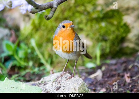 European Robin (Erithacus rubecula) adult perched on rock - Stock Photo