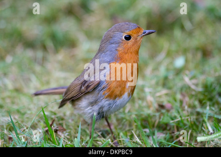 European Robin (Erithacus rubecula) adult, standing on ground - Stock Photo