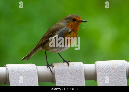 European Robin (Erithacus rubecula) adult perched on chair - Stock Photo
