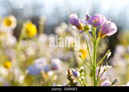 Lady's Smock or Cuckoo Flower (Cardamine pratensis) flowering in a meadow. Powys, Wales. June. - Stock Photo