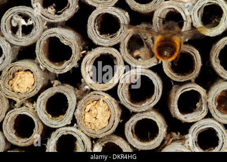 Female Red Mason Bee (Osmia bicornis) at her nest in a cardboard bee tube. Powys, Wales. June. - Stock Photo