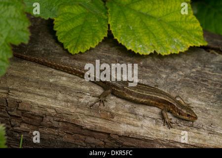 Common or Viviparous Lizard (Zootoca vivipara) adult female basking on a log. Sussex, England. June.