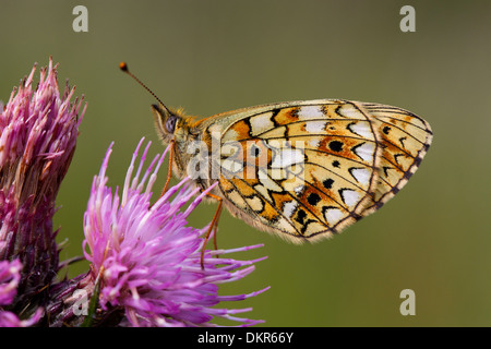 Small Pearl-bordered Fritillary Butterfly (Boloria selene) resting on a Marsh Thistle (Cirsium palustre) flower. - Stock Photo