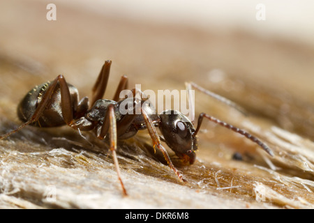 Negro Ant (Formica fusca) worker on wood. Powys, Wales. July Stock Photo