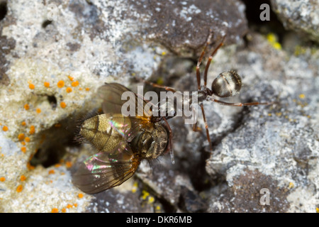Negro Ant (Formica fusca) worker carrying a dead fly. Powys, Wales. July Stock Photo