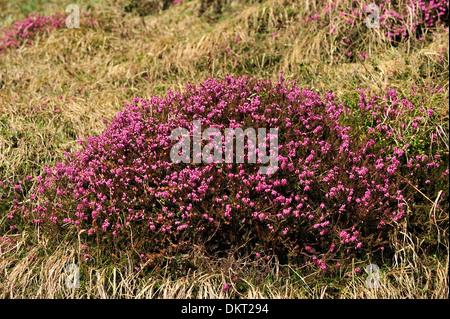 Winter heath Erica carnea Ericaceae cluster flower alpine plant plant blooming blooms flowering plant Alps Wergenstein - Stock Photo