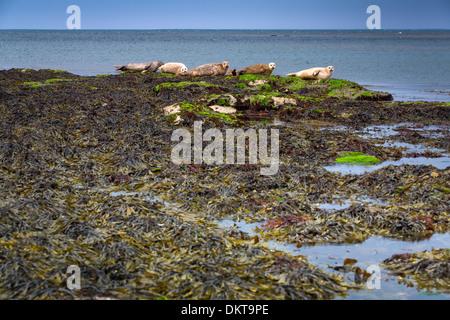 Atlantic Grey Seal or Horsehead (Halichoerus grypus). Inishmore island, Aran islands. County Galway, Ireland, Europe. - Stock Photo