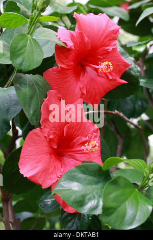 Rose Mallow, Chinese Hibiscus, China Rose or Shoe Flower, Hibiscus rosa-sinensis, Malvaceae. East Asia. - Stock Photo