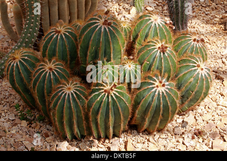 Cactus, Parodia magnifica, Cactaceae. Southern Brazil, Uruguay, South America. - Stock Photo