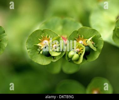 Closeup of Wood Spurge, Euphorbia amygdaloides, Euphorbiaceae. - Stock Photo