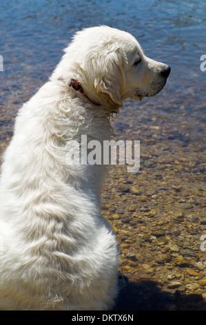 Platinum colored Golden Retriever dog playing in the Arkansas River, Salida, Colorado, USA - Stock Photo
