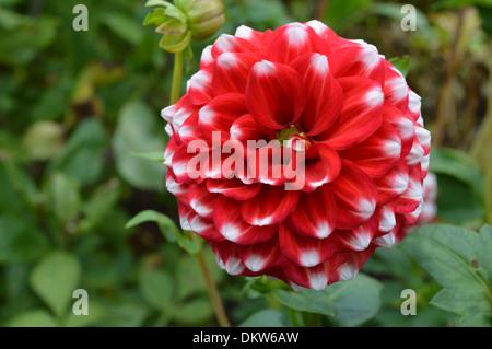 Checkers Dahlia Flower - Stock Photo