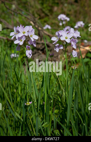 Lady's Smock or Cuckoo Flower, Cardamine pratensis. - Stock Photo