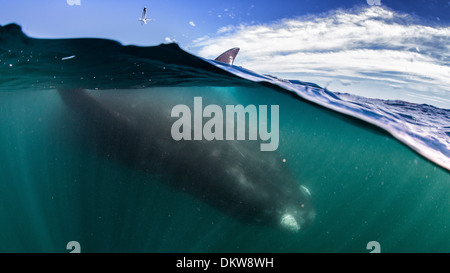 An over-under shot of a mother southern right whale Eubalaena australis laying at the surface upside down - Stock Photo