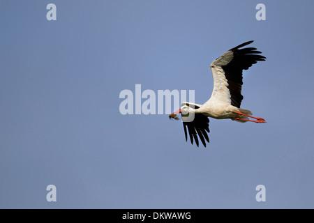 The white stork in the flight - Stock Photo