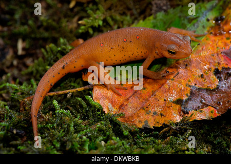 Red-spotted newt, Notophthalmus viridescens, Red eft (terrestrial phase), New York