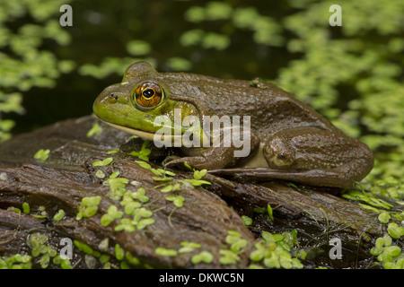 American bullfrog (Lithobates catesbeianus),  Rana catesbeiana, New York - Stock Photo