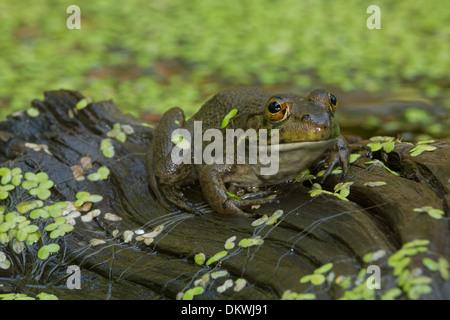 American bullfrog (Lithobates catesbeianus), Rana catesbeiana - Stock Photo