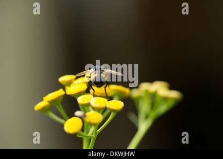 Tachinid Fly showing off it's spiky rear on a Curry Flower in Surrey hills, England - Stock Photo