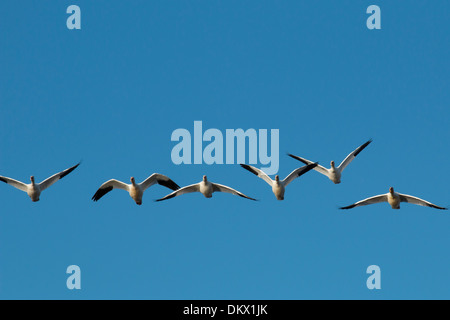Snow geese flying towards the camera - Chen caerulescens - Stock Photo