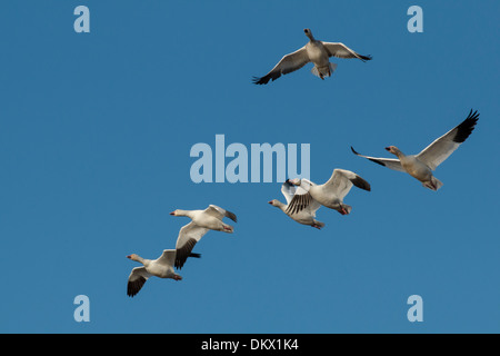 A group of snow geese in flight - Chen caerulescens - Stock Photo