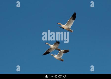 Three snow geese in flight - Chen caerulescens - Stock Photo